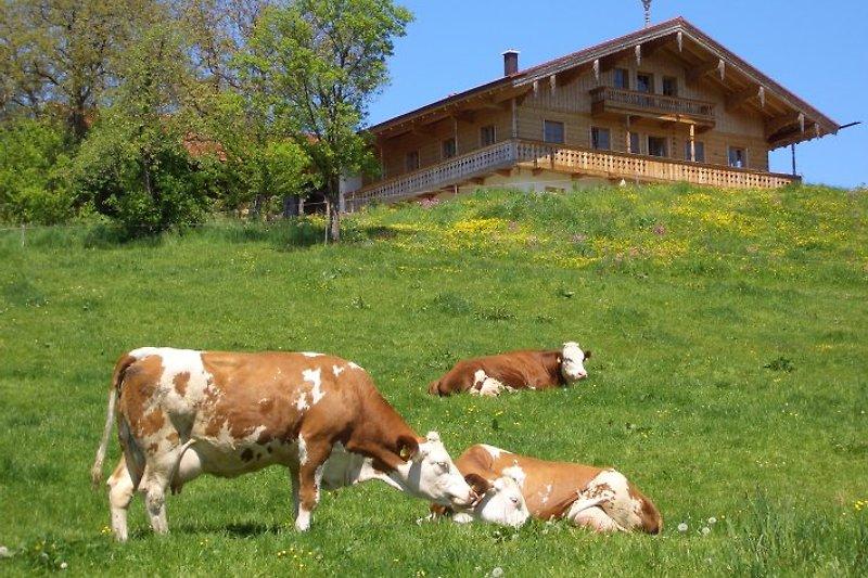 Berge und Kühe