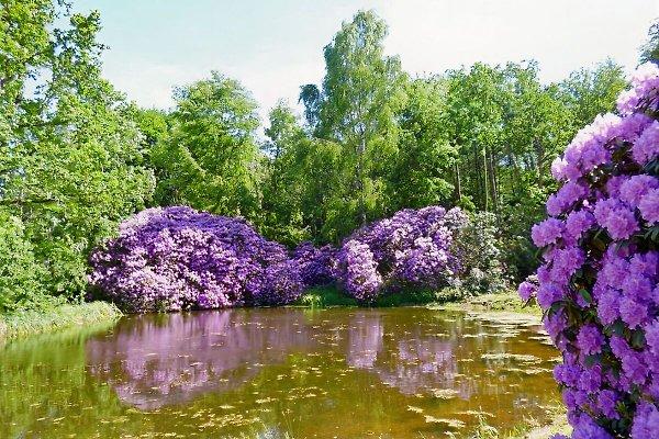 Rhododendren im Schlosspark Wiligrad