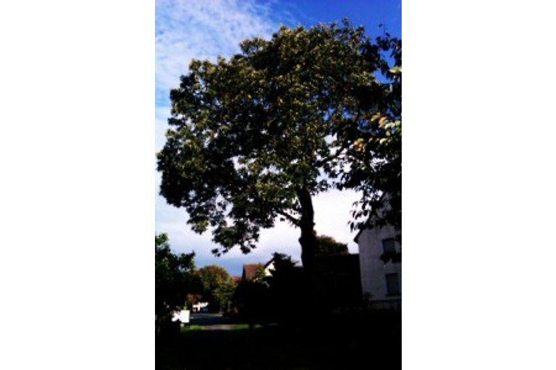 Unter'm Maronenbaum