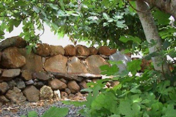 Ruhe unter dem Feigenbaum...
