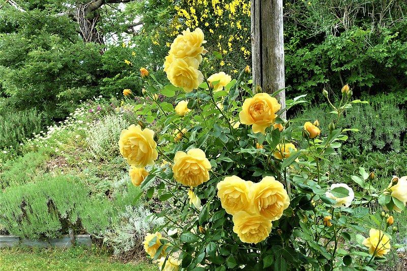Duftende englische Rose bei der Terrasse