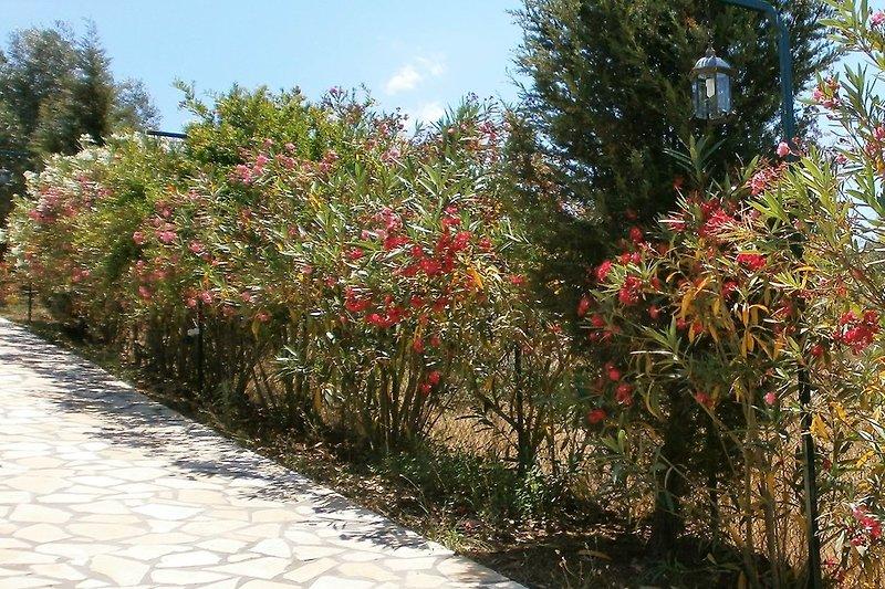 Eine bunte Oleanderhecke  begleitet Sie zum Haus