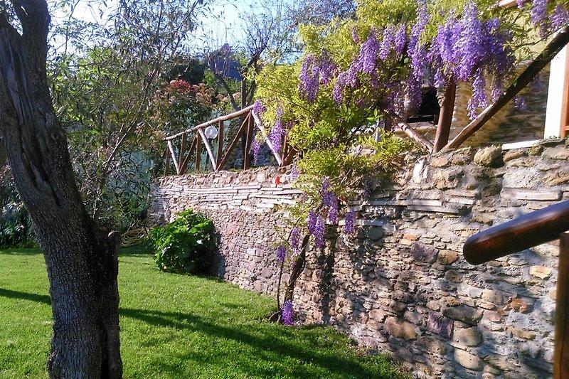 Garten im Frühjahr. Glyzinien in  Blüte