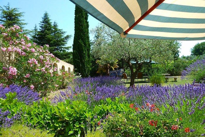 La fleur de lavande in Mirabel-aux-Baronnies - Bild 2