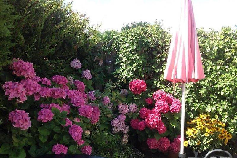 Dieses jahr blühen die hortensien besonders schön