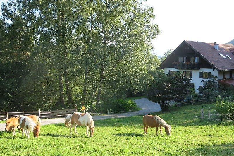 Wimmerhof, Ponys beim Weiden