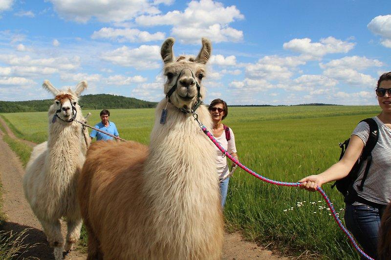 Lama-Wandern am Kilians-Hof
