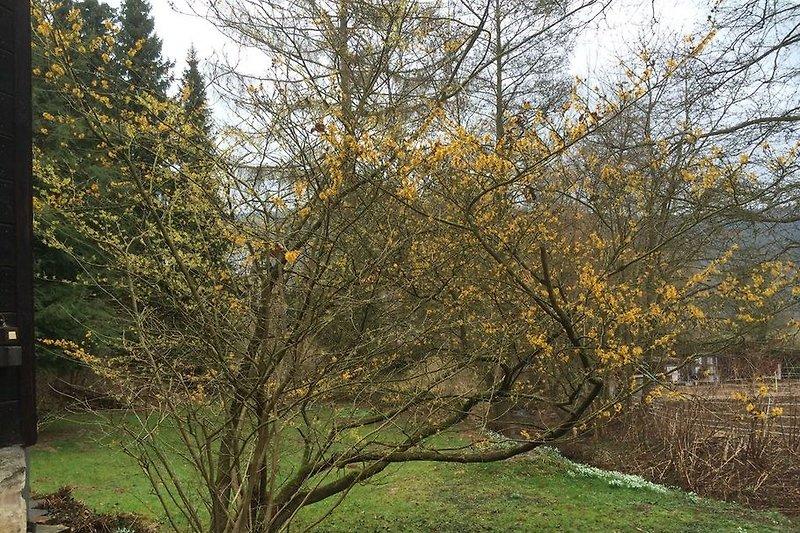 Blühende Zaubernuss im Garten - der Namensgeber