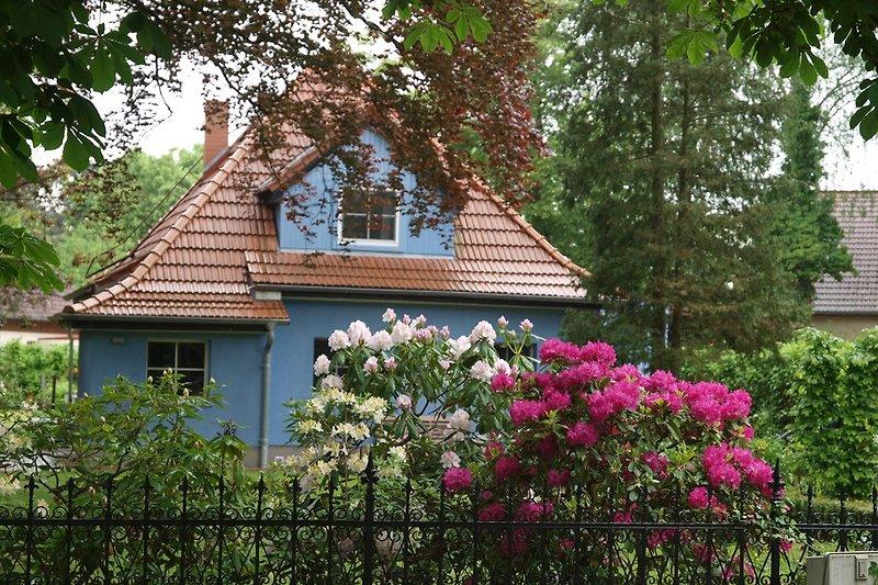 von der Straße aus wenn der Rhododendron blüht