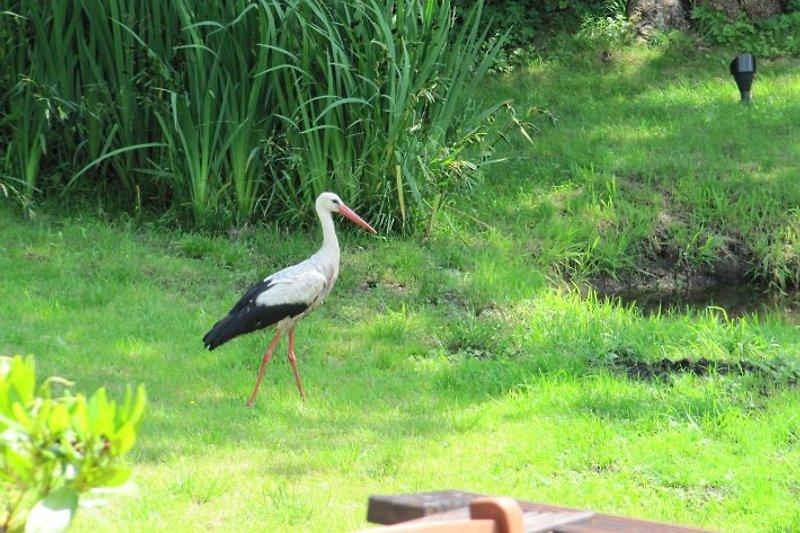 der Storch zu Besuch!