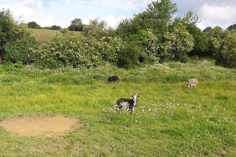 Unsere Esel und Ziegen auf der Weide