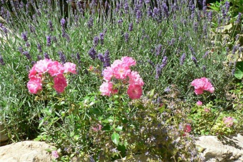 Lavande et roses