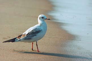 House Seagull