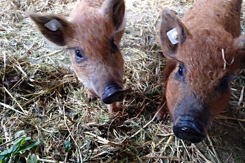 Unsere kleinen ungarischen Wollschweine