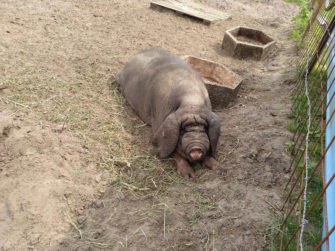 Maskenschwein